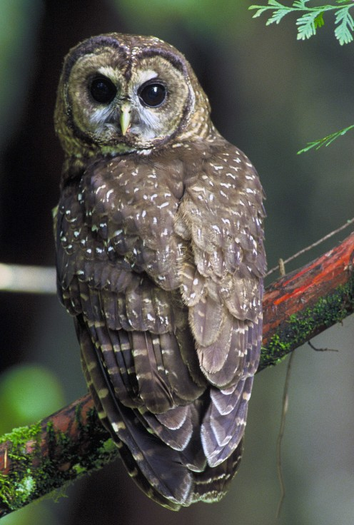 Northern_Spotted_Owl.USFWS-thumb (2)