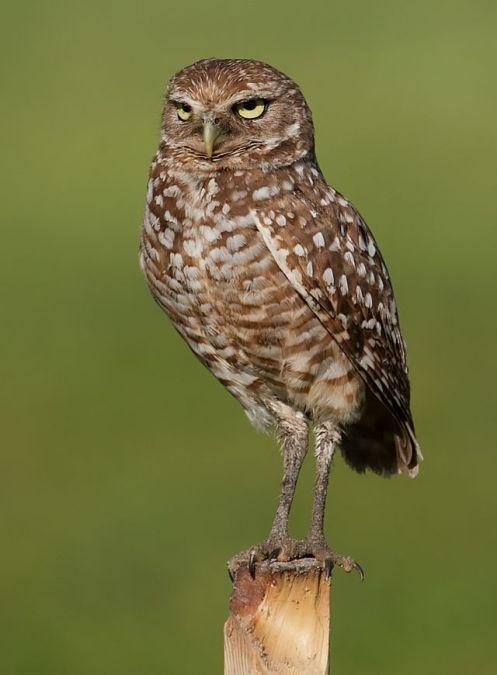 640px-Burrowing_Owl_4354